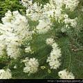 澳洲茶樹.2.JPG