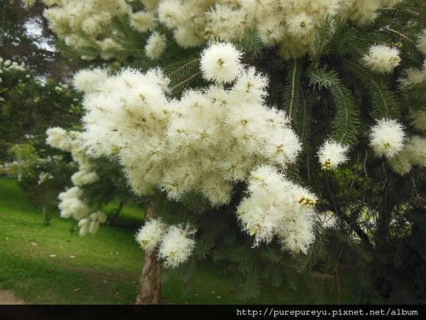 澳洲茶樹.4.JPG
