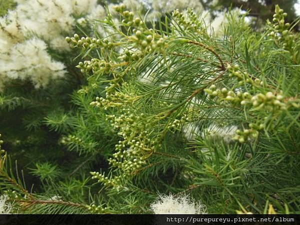 澳洲茶樹.5.JPG