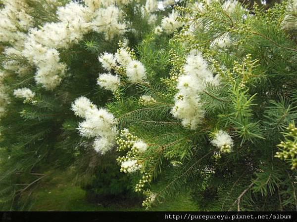 澳洲茶樹.6.JPG