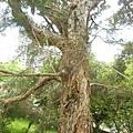 澳洲茶樹.7.JPG