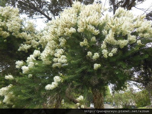 澳洲茶樹.9.JPG
