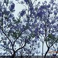 藍花楹.2.JPG