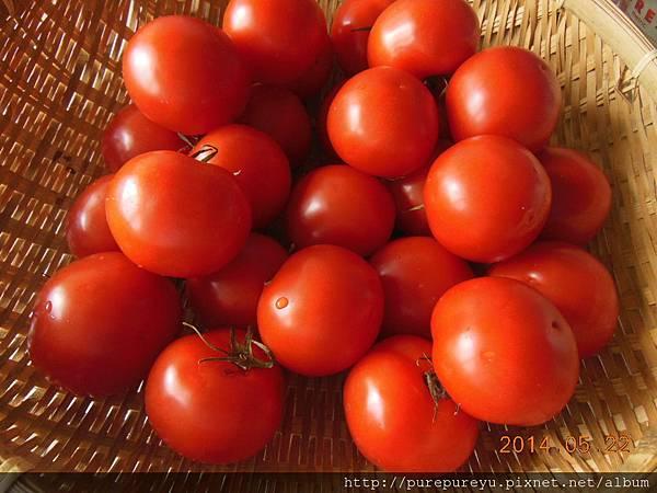 荷蘭蕃茄.1.JPG