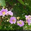 大花紫葳.2