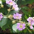 大花紫葳.4