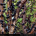 樹葡萄蘋果汁1.jpg