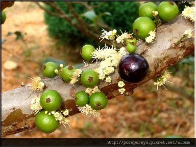 樹葡萄蘋果汁2.jpg