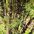 樹葡萄蘋果汁3.JPG