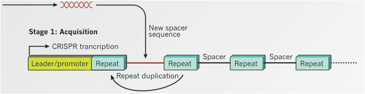 CRISPR novel spacer acquistion