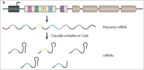 CRISPR biogenesis