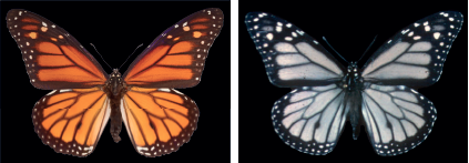 黃斑蝶與白斑蝶