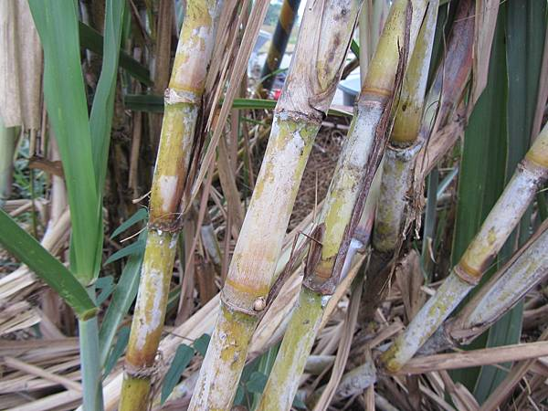 照片3,新鮮甘蔗表皮上的白色蠟質,富含「甘蔗元素」。