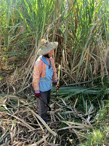 照片1,山豬認證手工好黑糖的素琴姊,正在鑑定甘蔗的成熟度。