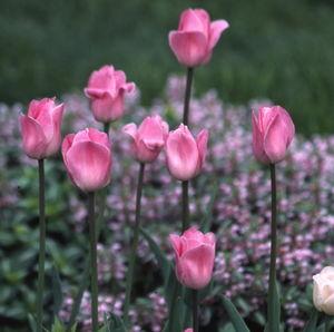 Pink Diamond.jpg