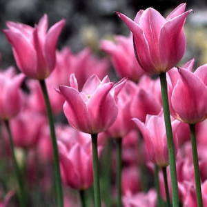 China Pink.jpg
