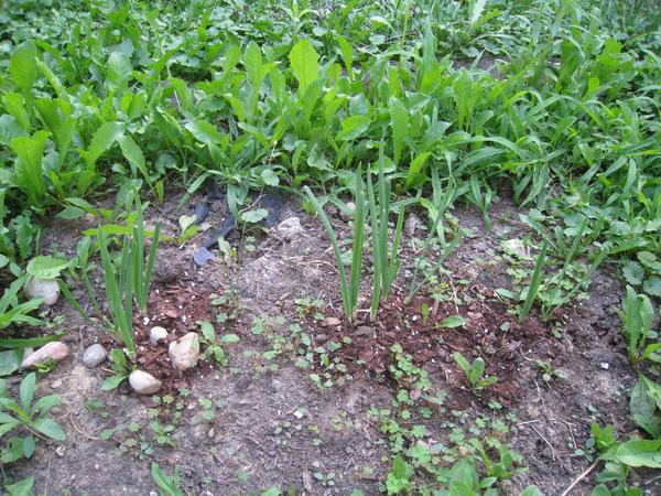 雜草區中挖出一塊地  韭菜-1.jpg