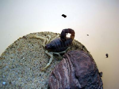 墨玉粗尾蠍1