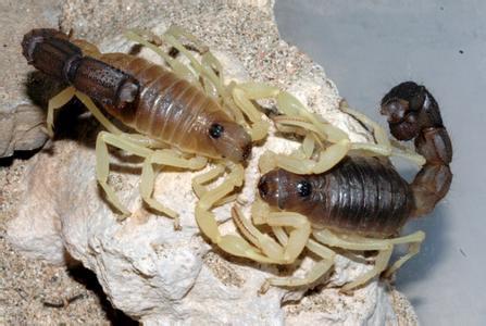 墨玉粗尾蠍2