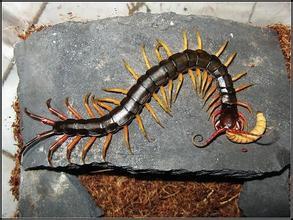 海南間腳蜈蚣
