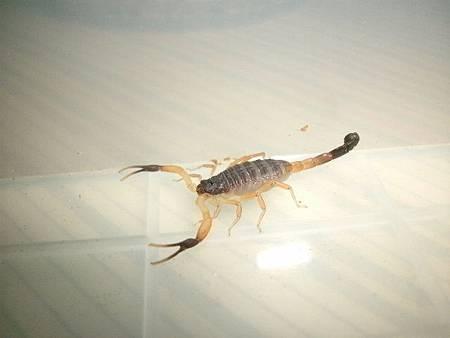 伊朗黑尾鱷背蠍2
