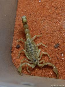 巴基斯坦肥尾蠍2