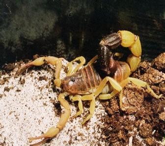 黑粗尾金蠍1