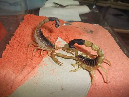 黑粗尾金蠍2