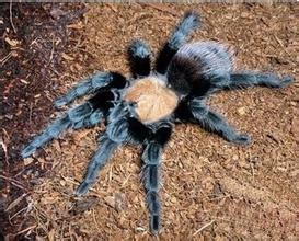 墨西哥金背紅尾蜘蛛1