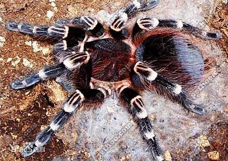 巨人白膝頭蜘蛛