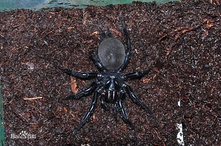 雷式大疣蛛2