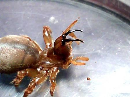 硬皮溝紋蛛
