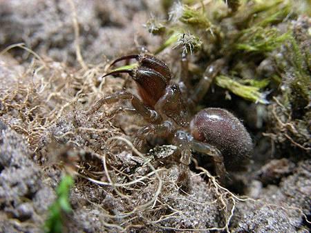 硬皮溝紋蛛2