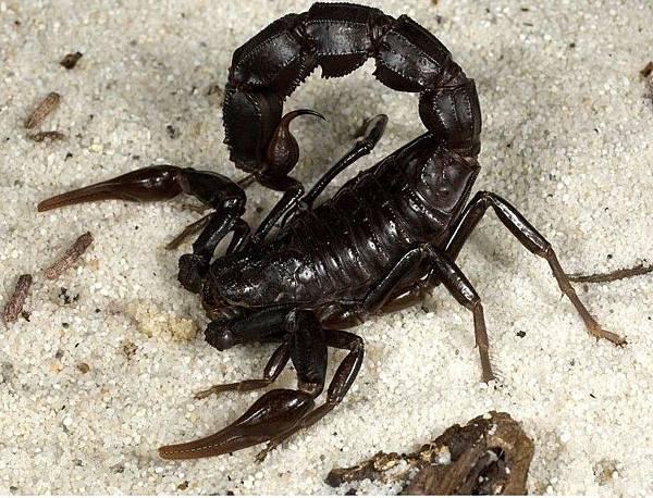 土耳其黑肥尾蝎