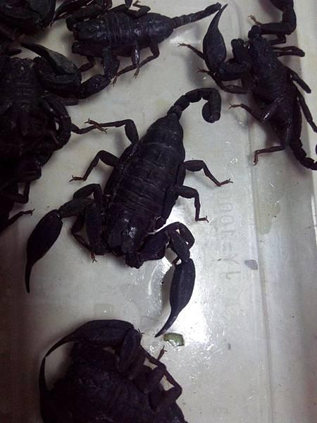 越南扁石蝎2