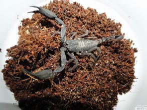 越南扁石蝎