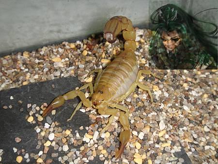 突尼西亞黃肥尾蝎2
