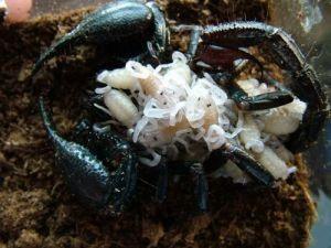 馬來西亞雨林蝎2
