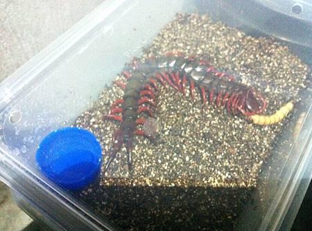 緬甸紅多棘蜈蚣