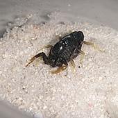 埃及柱尾蠍