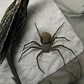 六眼沙蜘蛛