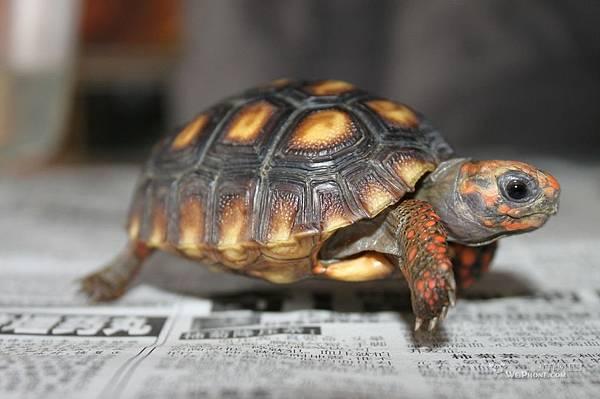 紅腿陸龜2