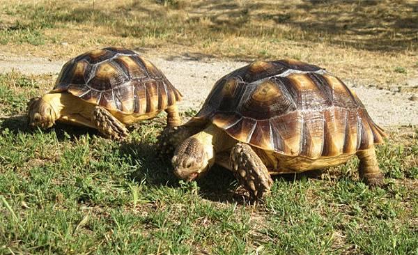 蘇卡達象龜2