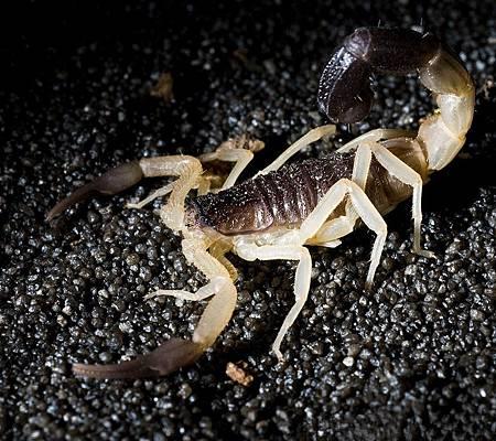 阿曼黑尾鱷背蝎