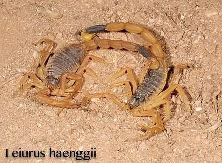 Leiurus haenggi