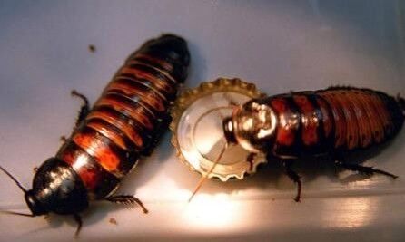 馬達加斯加蟑螂