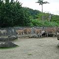 跑錯地方的斑馬?!還是受懲罰的斑馬?!羚羊們虎視眈眈= =+