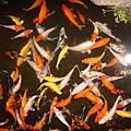 池塘裡的鯉魚真多
