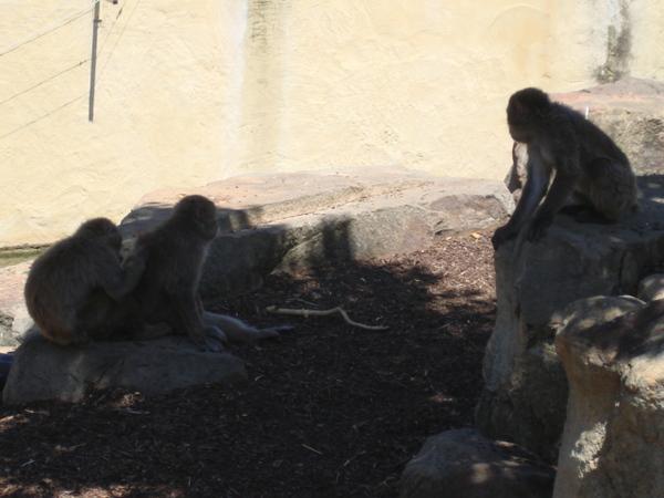 公園裡的猴子