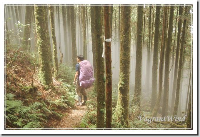 20100725-巴博庫魯山-柳杉